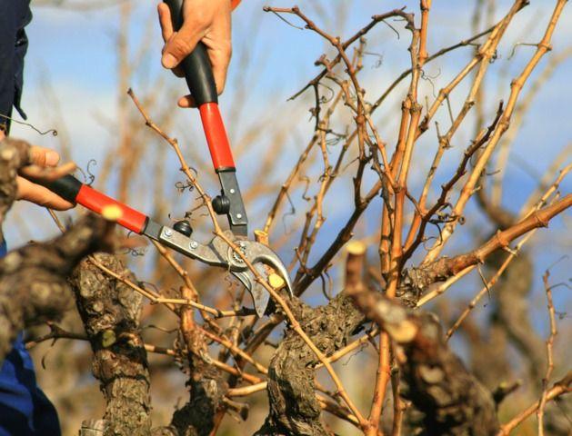 Conseils de base sur la façon de tailler la vigne et d'assurer une bonne production de raisins