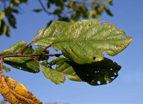 Клястероспориоз на вишне, дырчатая пятнистость, болезни вишни