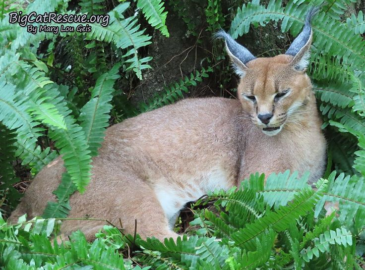 Chaos Caracal has the most beautiful ears and ear tufts