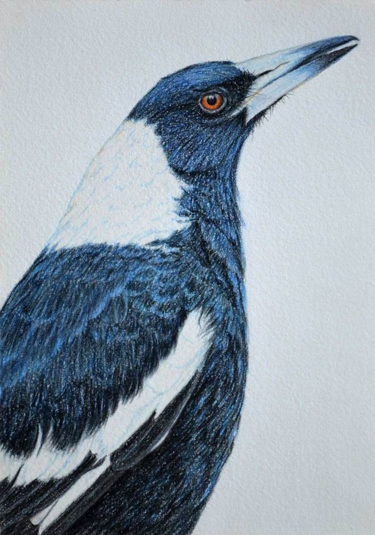 Australian Magpie 30 x 21 cm Pastel on handmade paper $650 SOLD