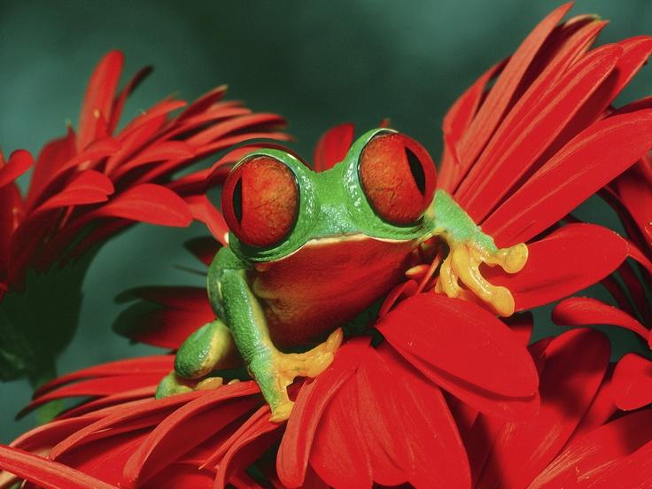endangered Bug-eyed tree frog , lives in Africa