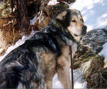 Tibetan Mastiff- my future dog!