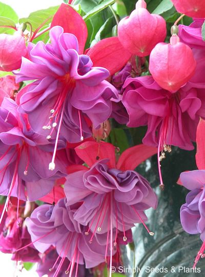 'Charlie Dimmock' - Fuschia    Plant Type	Fuchsia Plants  Plant Habit	Trailing  Flower Size	Large  Flower Quality	Double  Flower Colour	Red   Purple  Plant In	Basket / Sunny position / Part shade  Hardiness	Half hardy  Foliage	Green