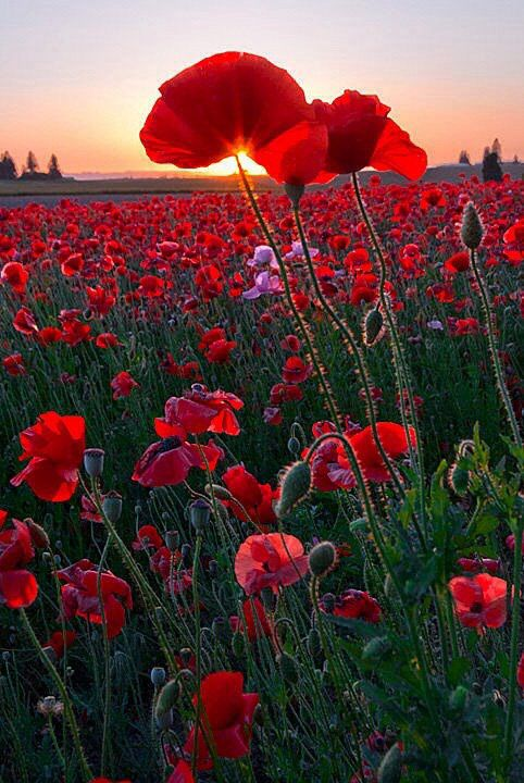 Red poppies in order to remember the fallen