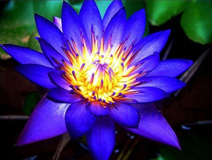 20 Seeds ( Bei jing) Blue Lotus Flower * Sapphire * Heirloom * High quality * China Lotus * Free Shipping(China (Mainland))
