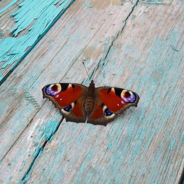 Бабочки в саду. Butterfly in the garden. #бабочка #лето #жара #butterfly #summer #heat