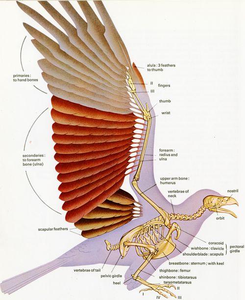 можете строения крыла птицы фото тебе это удается