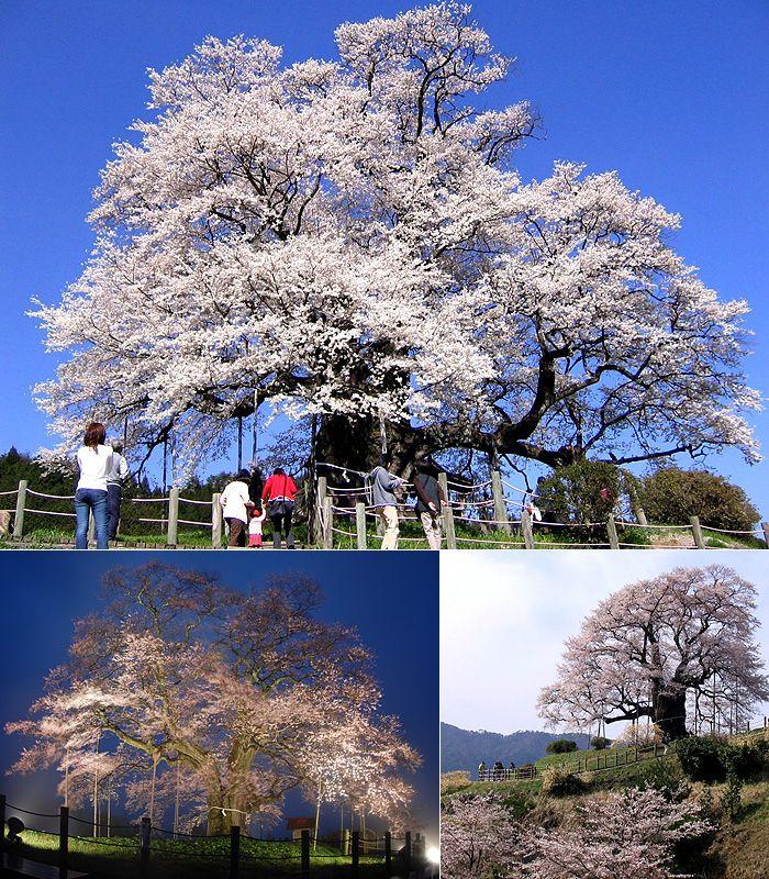 Okayama Maniwa|岡山(おかやま) 真庭(まにわ) |県下一の巨木と伝えられる醍醐桜(だいござくら)は、のどかな山里の原風景の中にあって、ただ1本だけ空に向かってそびえ立つ圧倒的な存在感。 日本名木百選にも選ばれると同時に、昭和47年12月には岡山県の天然記念物に指定されています。  目通り7.1m、根本周囲9.2m、枝張り東西南北20m、樹高18m、種類はアズマヒガン(ヒガンザクラの一種)で、伝説によれば、元弘2年(1,332年)後醍醐天皇が隠岐配流の際、この桜を見て賞賛したといわれ、この名がつきました。 樹齢は700年とも、また地元の説では1,000年ともいわれ、この見事な桜に魅せられ毎年満開の季節になると周囲が大渋滞になるほどに多くの花見客で混雑します。 大河ドラマ「武蔵MUSASHI」では岡山県内最初のロケ地として注目を集めました。 ※五分咲き以降は21時までライトアップされます ※ルートマップもありますので、ご参考になさって下さい。http://cms.top-page.jp/p/maniwa/1/26/ 開催日程4月上旬~中旬