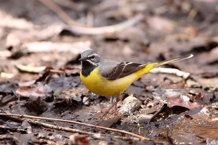 a grey wagtail in tokyo, japan