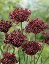 Image of Allium atropurpureum