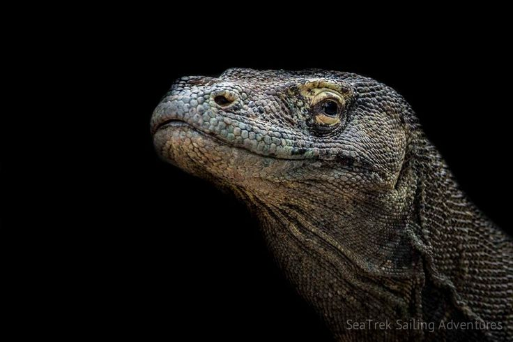 Komodo National Park | SeaTrek Sailing Adventures - komodo-21