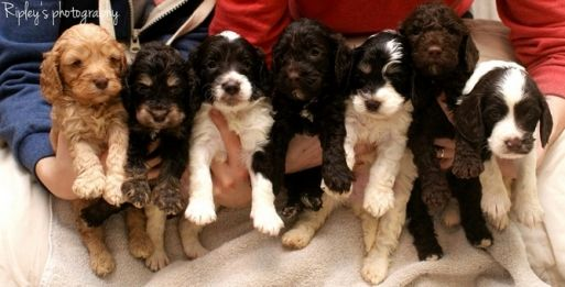 F2 Miniature Cockapoo Puppies NOW SOLD - £1,200