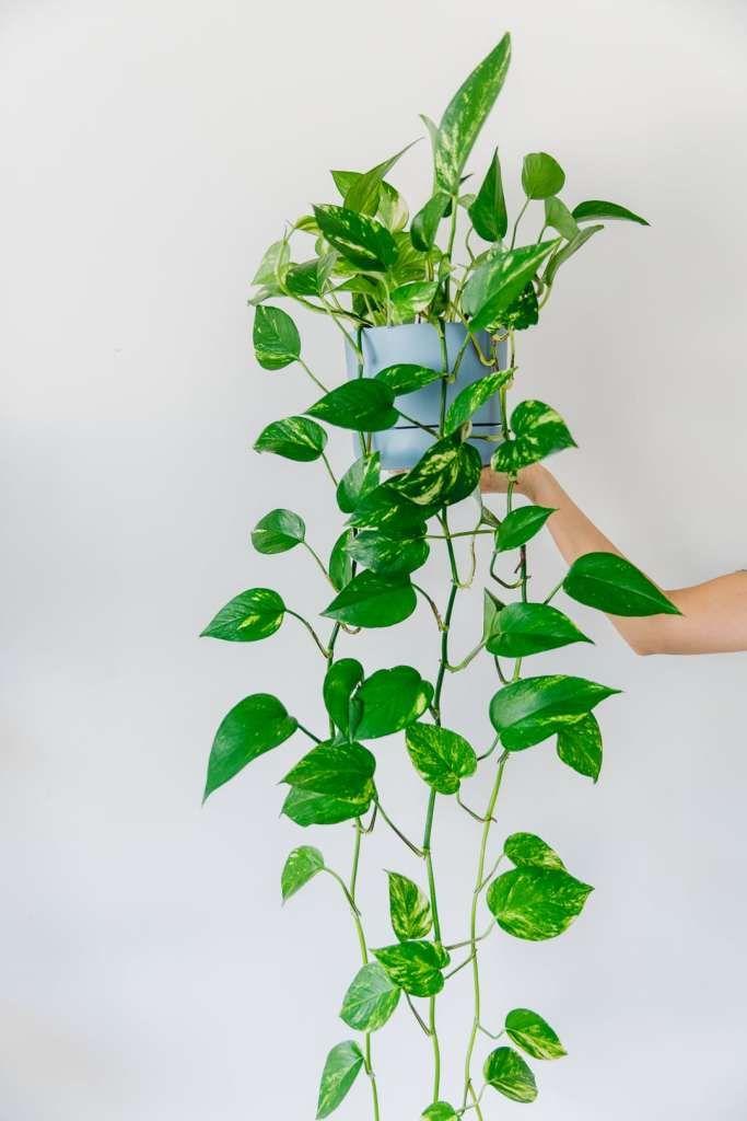 The Best Indoor Hanging Plants In 2020 Best Indoor Hanging Plants Ivy Plant Indoor Hanging Plants