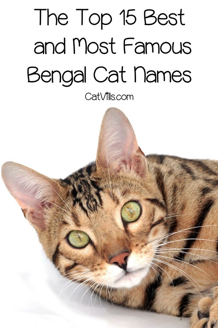 The Top 15 Best And Famous Bengal Cat Names Cat Names Bengal