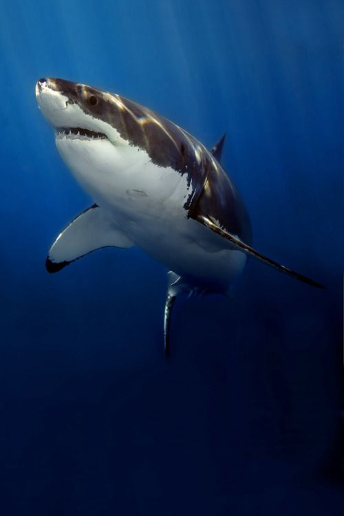 """the-shark-blog: """" 2005 Guad 00182 by John Scarlett Via Flickr: Image of a Great White Shark taken at Gudalupe Island, Mexico at the surface from a cage with a Nikon D2X camera, 12-24mm Nikon lens set at 24mm, in a Subal housing and using two Inon..."""