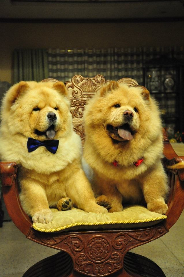 Chao Chao! #Chow #ChowChow Chow Chow Chow #Puppy #Dogs :)