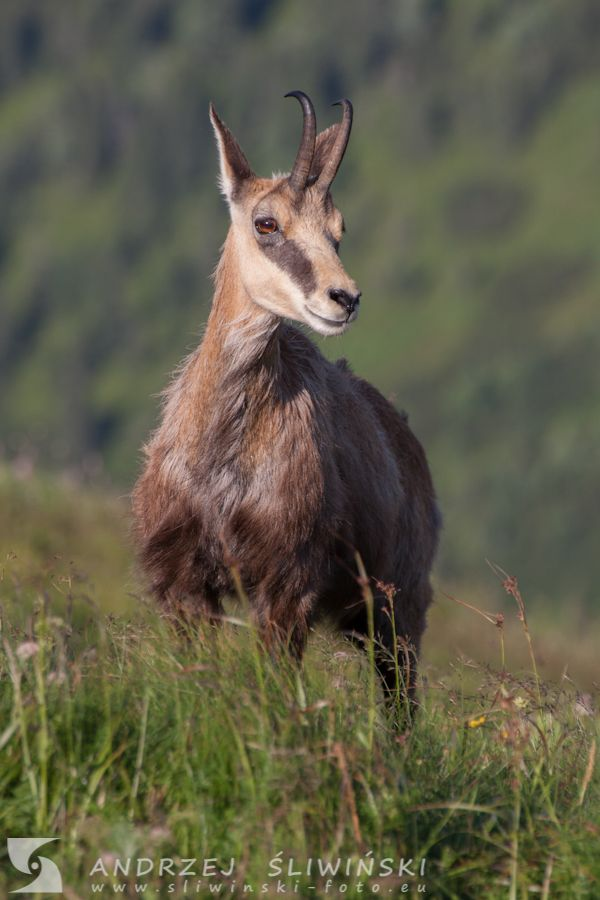 Chamois in the Tatra Mountains.  #wildlifephotography