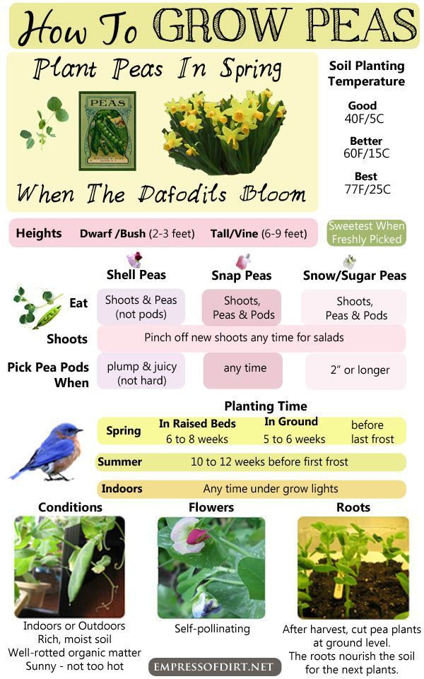 How to grow peas - keep this pin handy to know which types to grow and what they like - you'll be eating fresh, delicious peas in no time