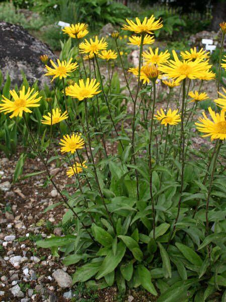 BUPHTHALMUM salicifolium - Tusindstråle, farve: gul, lysforhold: sol, højde: 40 cm, blomstring: juni - august, god til bunddække.