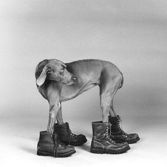Mode fotograaf William Wegman   interesting Pictures of Dogs
