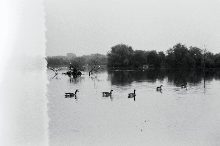 A gaggle of Geese at the Attenborough Nature Reserve in Nottingham, England