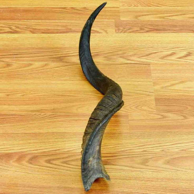 Africa Map Horn Of Africa%0A      African Kudu Horn  SW     for sale at Safariworks Taxidermy Sales