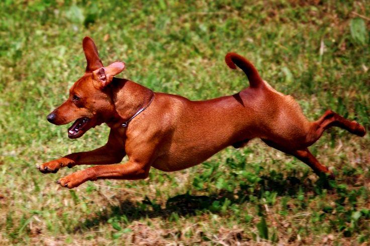 ... Austrian Shorthaired Pinscher #Dpgs #Puppy | Austrian Pinscher