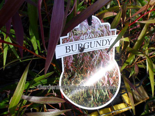 agonis flexuosa burgundy 001