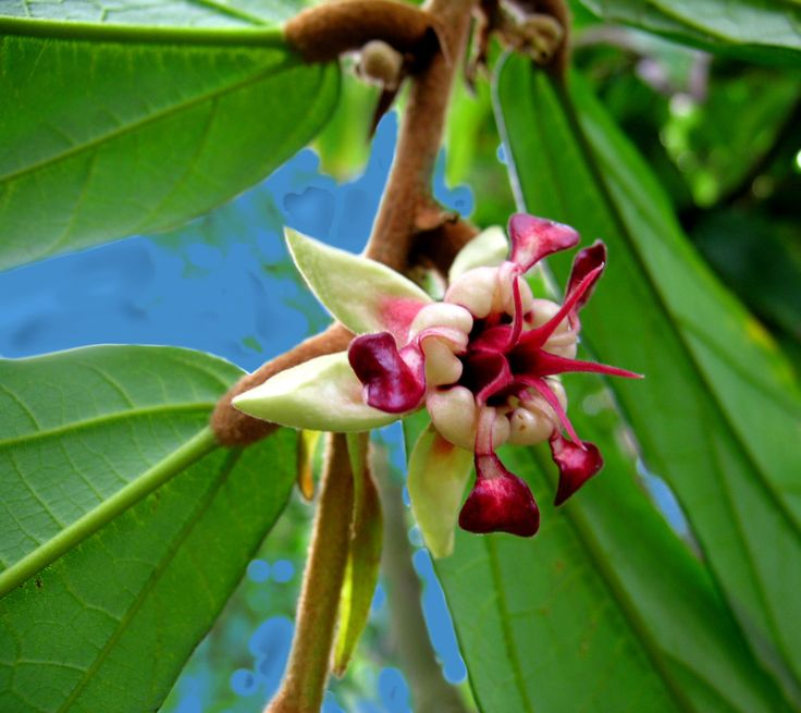 Cacao Plant flower | Flowers and Fruit and Cocoa Pods of Theobroma Cacao