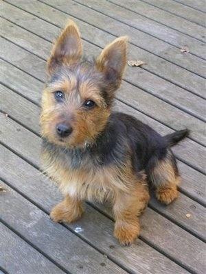 Australian Terrier Puppy Picture