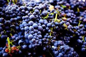 Pinot Noir Times - General - Is the 2013 Pinot Noir Harvest the best so far? -