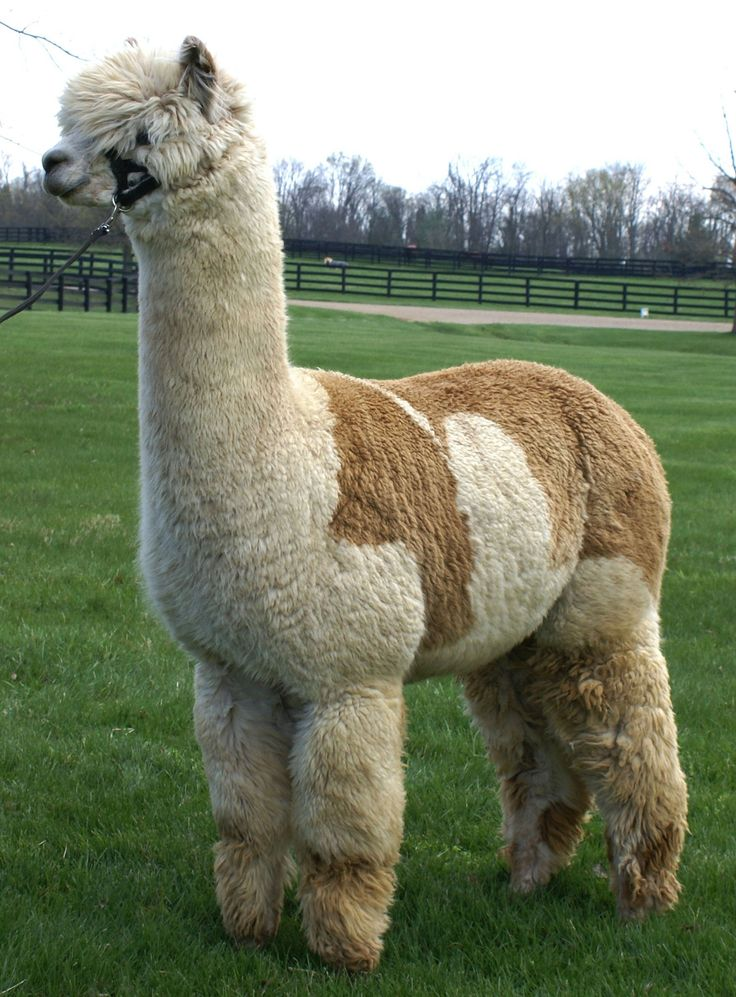 I just want to cuddle and pet...Berry Meadow Alpaca