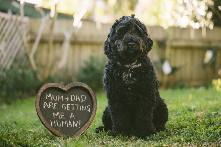 Pregnancy Announcement. Beau the spoodle. Image: Cavanagh Photography
