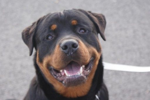 Rottweiler Puppies for Adoption | Posts by Fife Rottweiler Rescue | Dogs for Adoption & Rescue ...