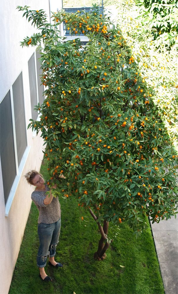 Kumquat tree in the yard please! Jennifer Berger, Backyards Bliss, Plants, Gardens, Growing Candies, Citrus Trees, Kumquat Trees, Asian Loquat, ...