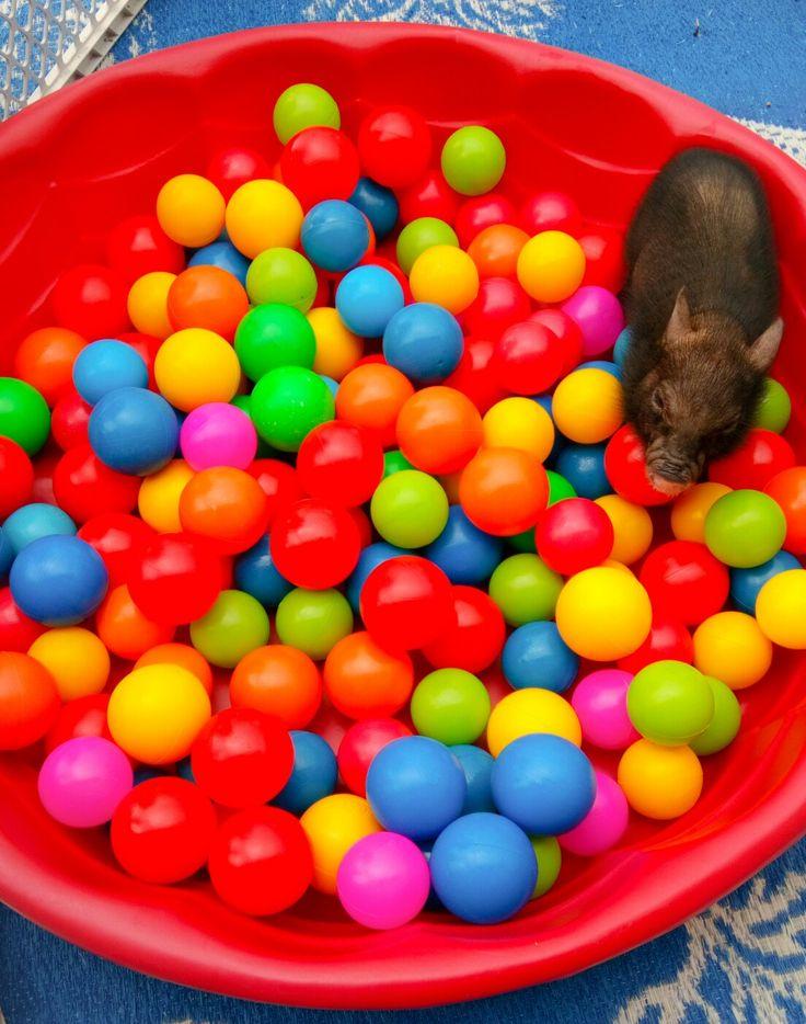 Ball Pit Fun! Our Mini Pig =)