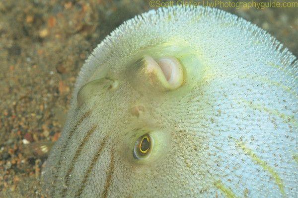 Bobbit worm - ambush predator, Eunice aphroditois|Underwater Photography Guide