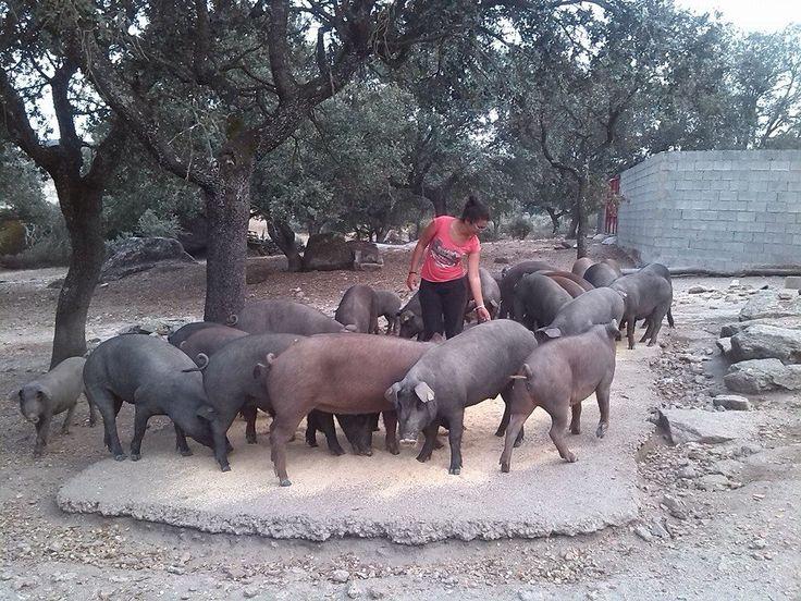un poquito de los cerditos que tengo en Bogajo, Salamanca