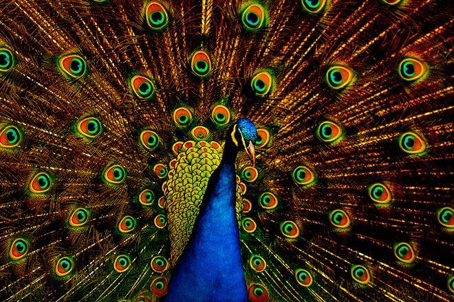 La hipnótica hermosura que envuelve al pavo real en su plumaje también manifiesta una naturaleza fractal que ayuda a los machos de esta especie a seducir a las hembras a través de la perfección estética de un discurso que oscila entre lo onírico y lo algorítmico