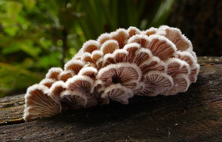 Bernard Spragg posted a photo:  Schizophyllum commune is a common species of fungus in the genus Schizophyllum. It was initially described as a morphological species of global distribution and then revealed to be a species complex encompassing several cryptic species of more narrow distribution, as typical of many mushroom-forming Basidiomycota.  The gills, which produce basidiospores on their surface, split when the mushroom dries out, earning this mushroom the common name split gill. It…