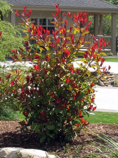 Photinia - Little Red Robin. http://www.ehow.com/how_4425049_prune-red-tip-photinia-.html