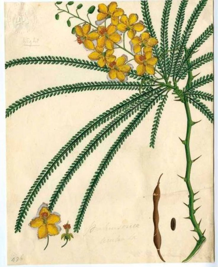 8 best parkinsonia aculeata images on pinterest palo verde plants and arizona. Black Bedroom Furniture Sets. Home Design Ideas