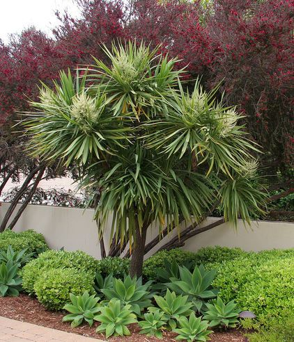 Great Design Plant: Cabbage Tree    Happiest in plentiful sun, this tropical-looking tree gives a pool area or backyard landscape an exotic view all summer long.  mediterranean landscape by Donna Lynn - Landscape Designer