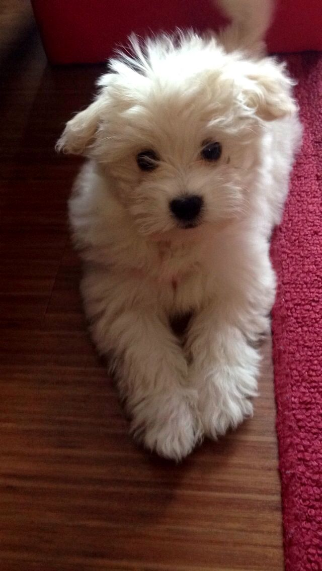 Pin By Dog Is Life On Havanese Havanese Cute Animals Puppies