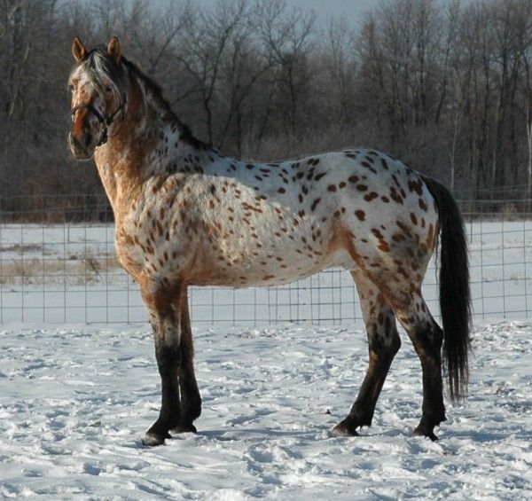 Friesian x Appaloosa stallion Grand Design in his winter coat.  This is my most favorite breed of horse.