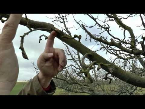 La base de la taille des pommiers - YouTube