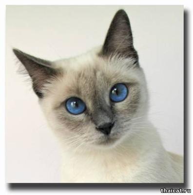 Thai cat.