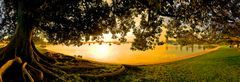 Mosman Bay Fig Tree, Perth
