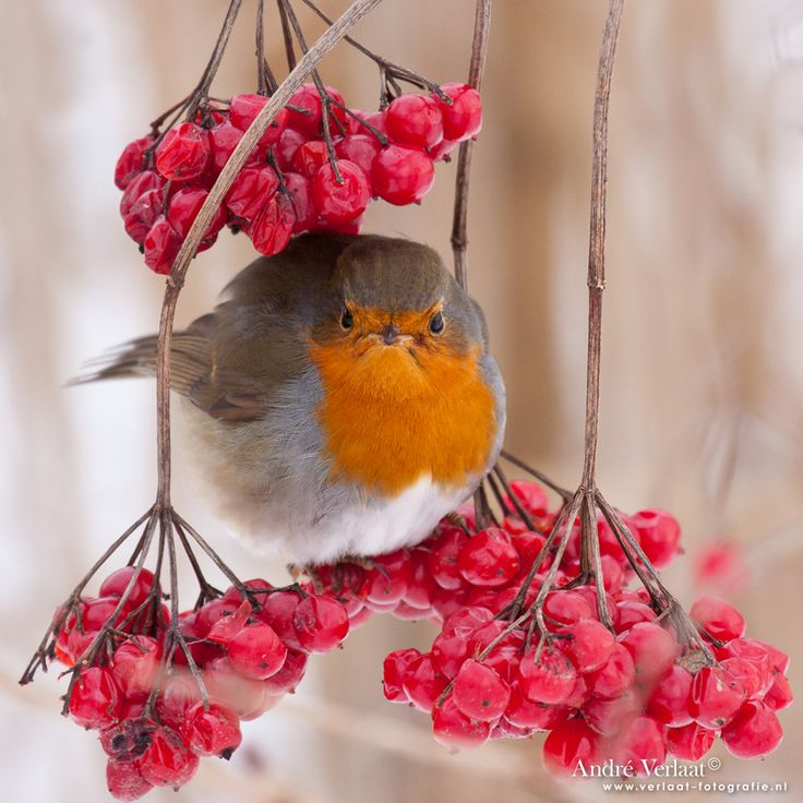 European robin (Erithacus rubecula), most commonly known in Anglophone Europe simply as the robin, is a small insectivorous passerine bird, specifically a chat, that was formerly classed as a member of the thrush family (Turdidae), but is now considered to be an Old World flycatcher.