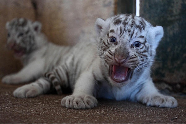 Two-month-old white tiger cubs roar at the Attica Zoological Park in Spata, near Athens, June 29.